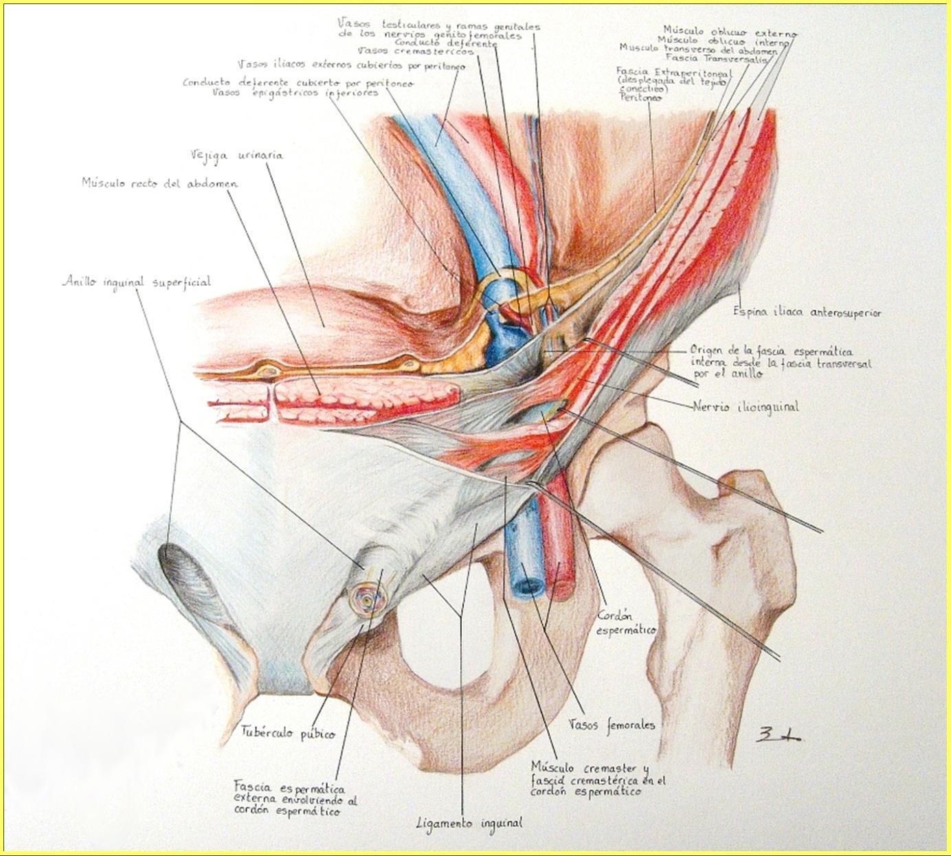 Hermosa Anatomía Del Conducto Inguinal Molde - Anatomía de Las ...